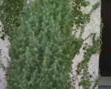 Juniperus communis suecica Pencil Point