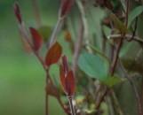 Lonicera japonica purpurea